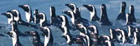 Magellanic_ penguins