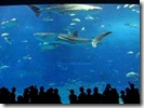 okinawa_churaumi_aquarium_1
