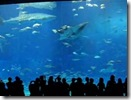 okinawa_churaumi_aquarium_2