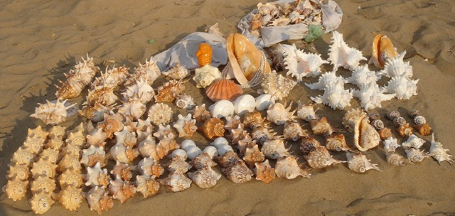 Oyster Shells For Sell Oyster Shells Can be Used as